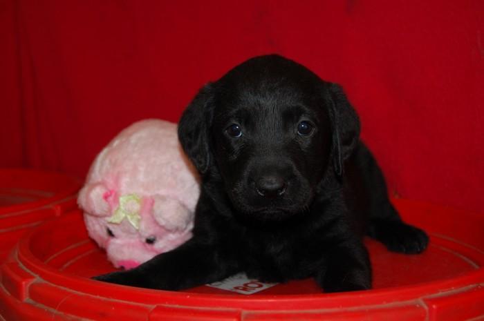 Chiot Labrador retriever : 0  mâle - femelles 3 247744