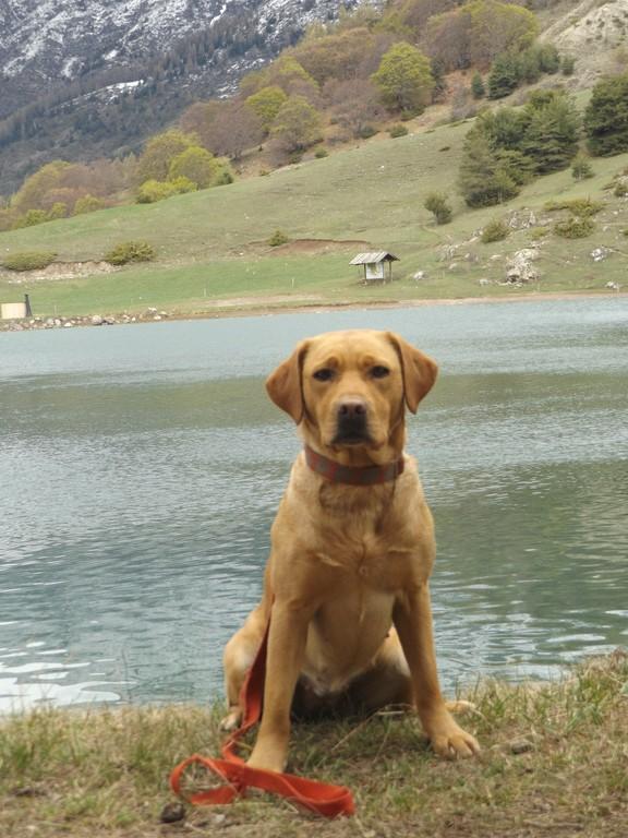 Chiot Labrador retriever : 4  mâles – femelles 4 236003