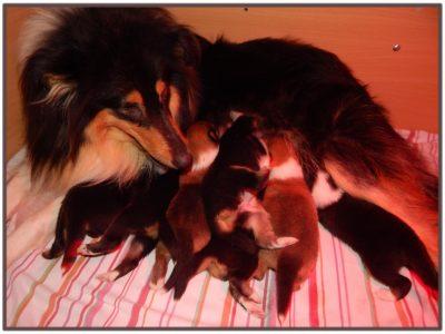 Chiot Colley à poil long : 4  mâles – femelles 2 242578