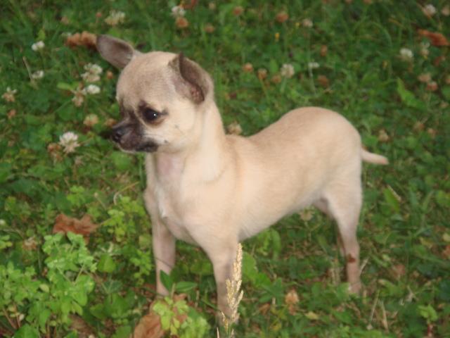 Chiot Chihuahua : 3  mâles - femelles 2 246532
