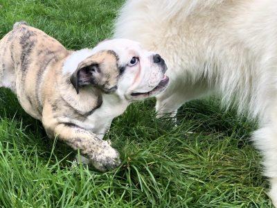 Chiot Bulldog : 0  mâle – femelle 1 248024