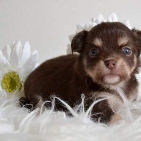 Diamondskane Preston - 4 semaines - mâle chocolat tan et blanc DISPONIBLE A LA RÉSERVATION