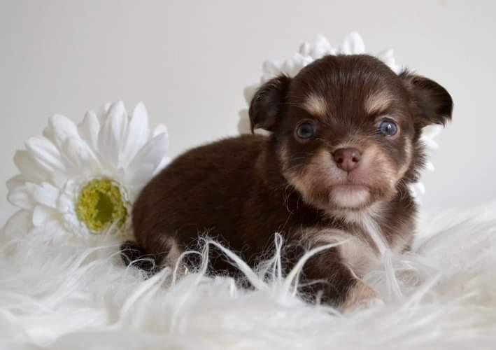 Chiot Chihuahua : 2  mâles – femelles 3 246530