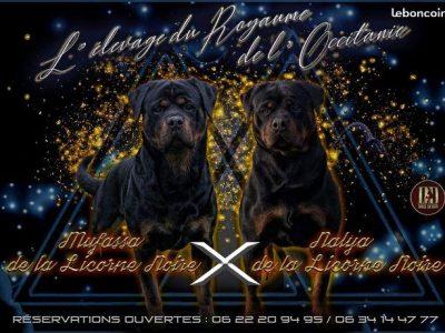 Chiot Rottweiler : 10  mâles – femelles 4 244263