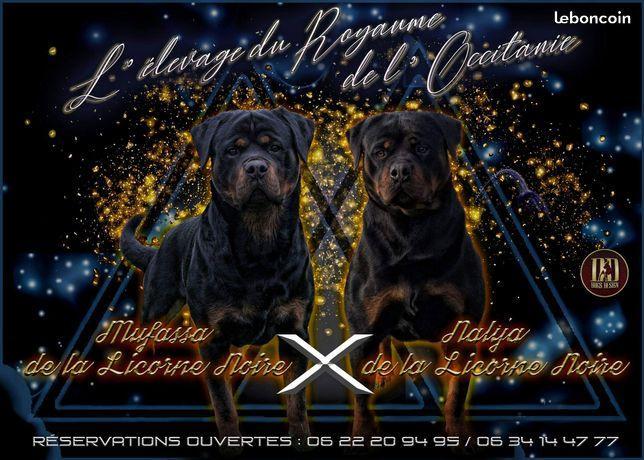 Chiot Rottweiler : 10  mâles - femelles 4 244263