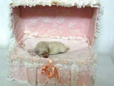 Chiot Bichon frisé : 0  mâle – femelle 1 240609