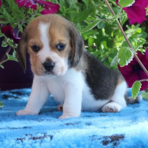 Chiot Beagle : 1  mâle - femelle 0 235804
