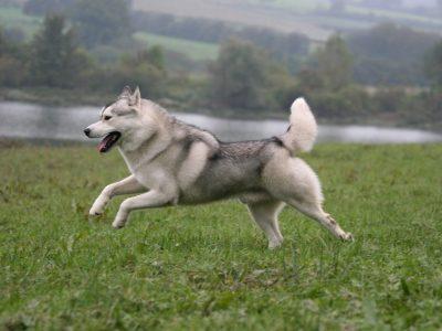 Origines et évolution du chien