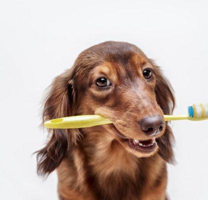 Comment préserver l'hygiène bucco-dentaire de son chien adulte ?