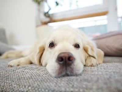 Comment savoir si mon chien souffre ?