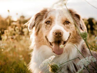 Comment nourrir une chienne gestante ?