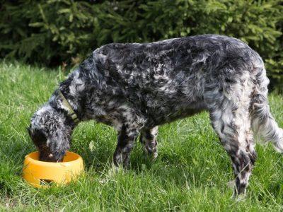 Est-ce bon pour mon chien adulte de manger des croquettes pour chiots ?