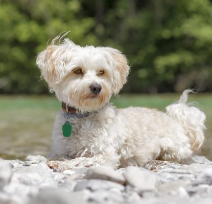 Pourquoi faire identifier mon chien ?