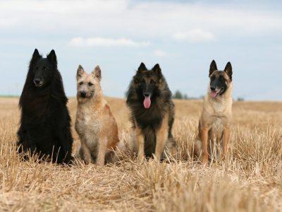 Pourquoi donner des aliments différents selon la taille et la race des chiens ?