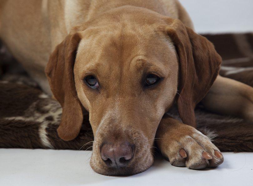 Pourquoi diminuer l'apport de phosphore chez le chien qui vieillit ?