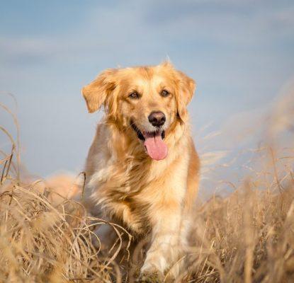 Le goût du chien intervient peu dans son choix alimentaire