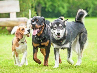 Pourquoi les chiens se reniflent entre eux ?