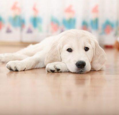 Comment apprendre la propreté à mon chien ?