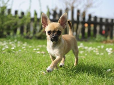 Le Chihuahua, animal sacré des temples Aztèques