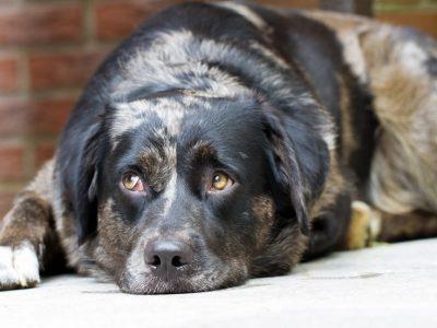 Mon chien a des douleurs articulaires, comment puis-je l'aider ?