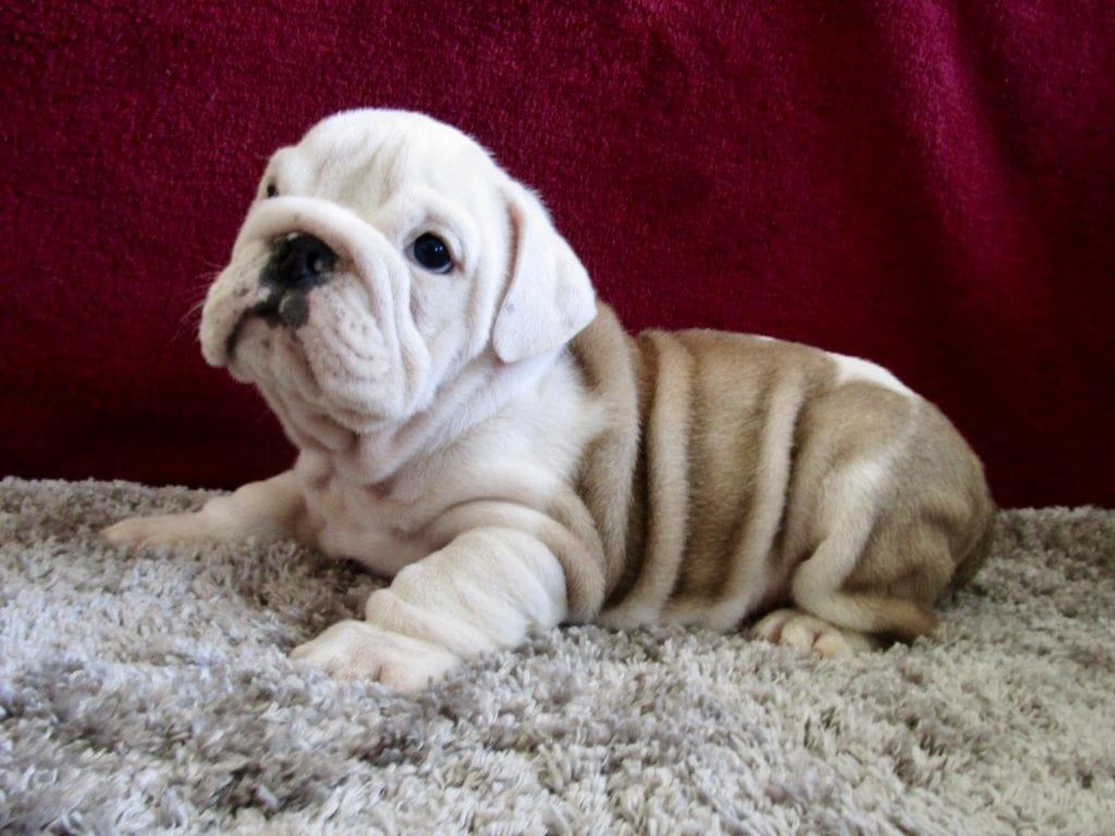 Chiot Bulldog : 1  mâle – femelle 1 237942
