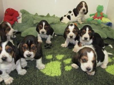 Chiot Basset hound : 1  mâle – femelles 4 240812
