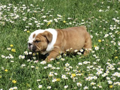 Chiot Bulldog : 1  mâle – femelle 0 245103