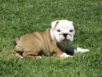 Chiot Bulldog : 0  mâle – femelle 1 246169