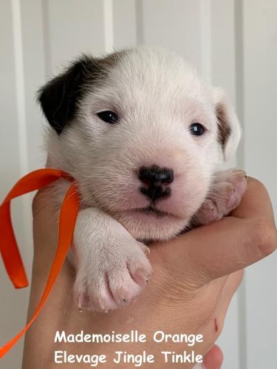 Chiot Jack russell terrier : 1  mâle - femelles 2 249108