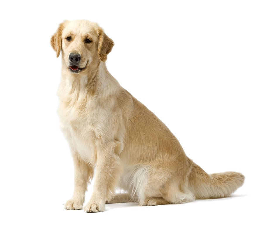 http://www.wikichien.fr/wp-content/uploads/sites/4/golden-retriever-images-photos-animal-000050_1-0.jpg