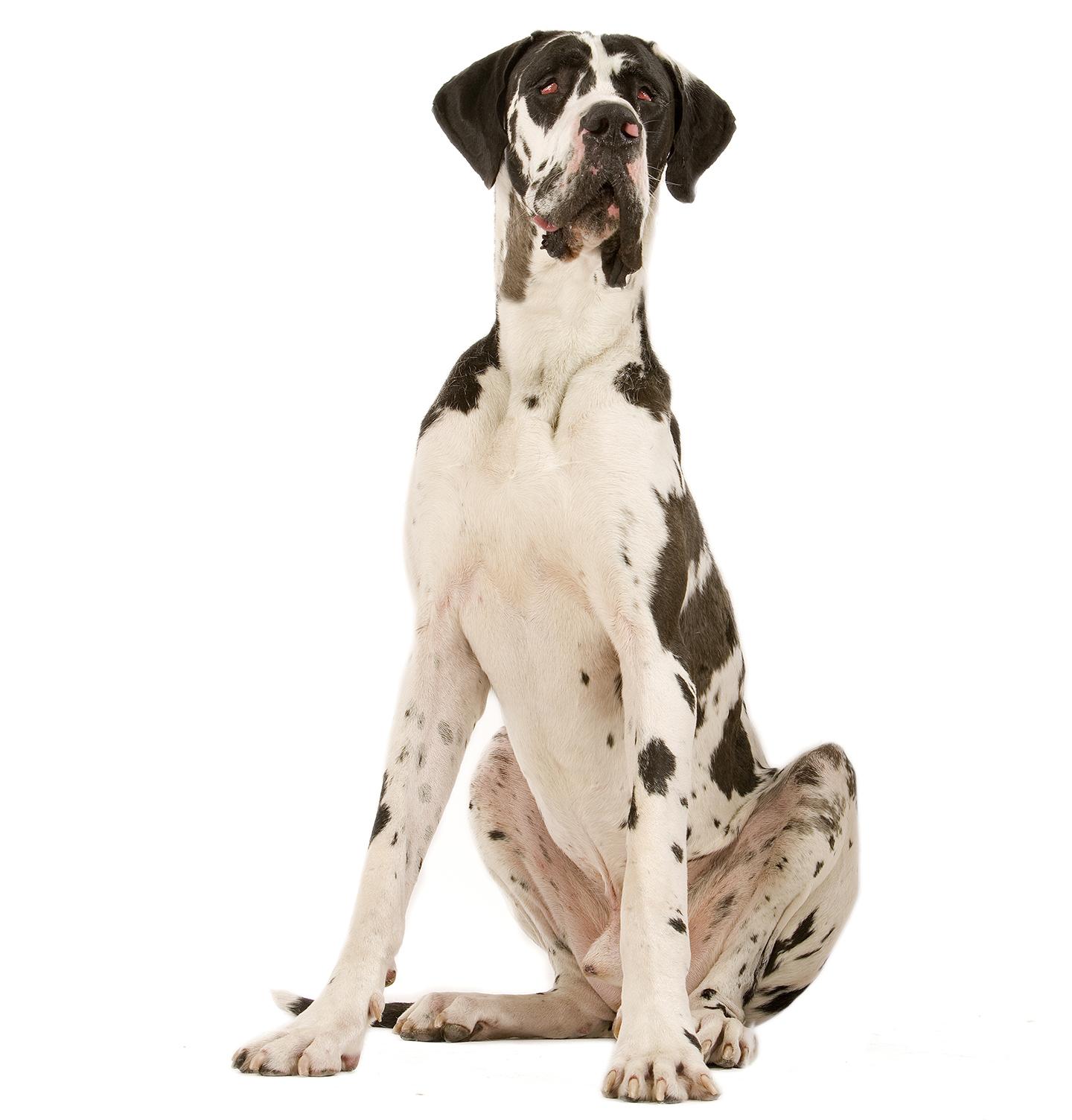 Morphologie du Dogue Allemand