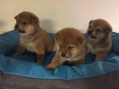 Chiot Shiba inu : 3  mâles – femelle 0 247956