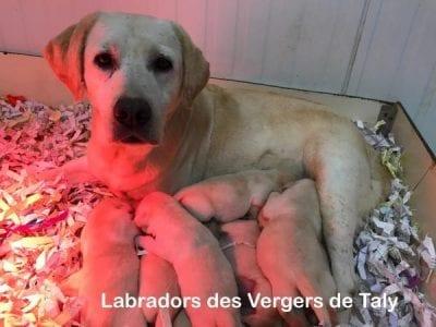 Chiot Labrador retriever : 4  mâles – femelles 4 240798