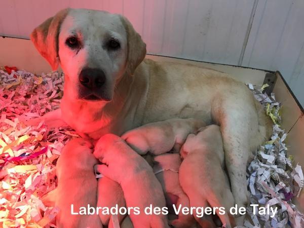 Chiot Labrador retriever : 1  mâle - femelle 0 240798