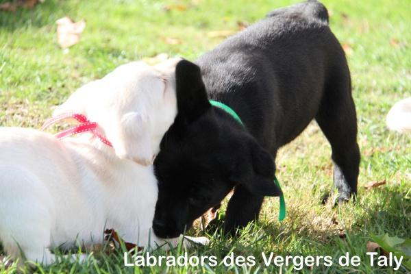 Chiot Labrador retriever : 1  mâle - femelles 3 238098