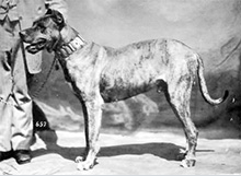 Histoire du Dogue Allemand
