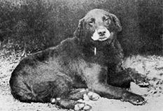 Histoire du Labrador retriever