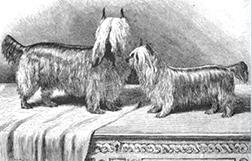 Histoire du Yorkshire terrier