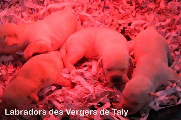 Chiot Labrador retriever : 0  mâle - femelles 4 245121
