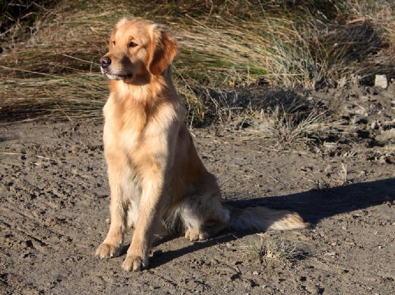 Chiot Golden retriever : 0  mâle - femelle 1 242752