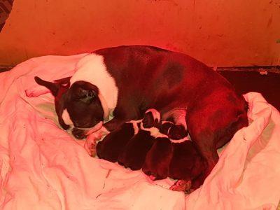 Chiot Terrier de Boston : 1  mâle – 3  femelles 29