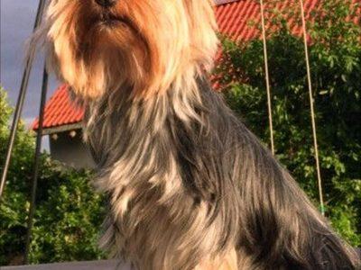 Chiot Yorkshire terrier : 1  mâle – 4  femelles 2340