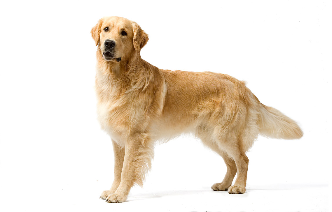 Morphologie du Golden retriever