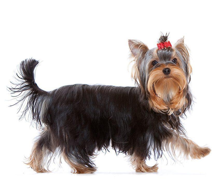 Morphologie du Yorkshire terrier