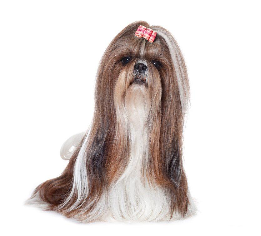 http://www.wikichien.fr/wp-content/uploads/sites/4/image_chien_shih-tzu.jpg