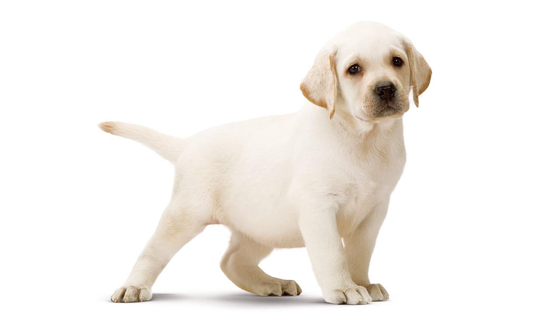 Labrador Cane Da Appartamento ~ La Scelta Giusta Per il Design Domestico