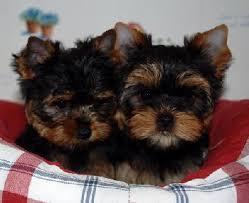 Chiot Yorkshire terrier : 3  mâles – femelle 0 243977