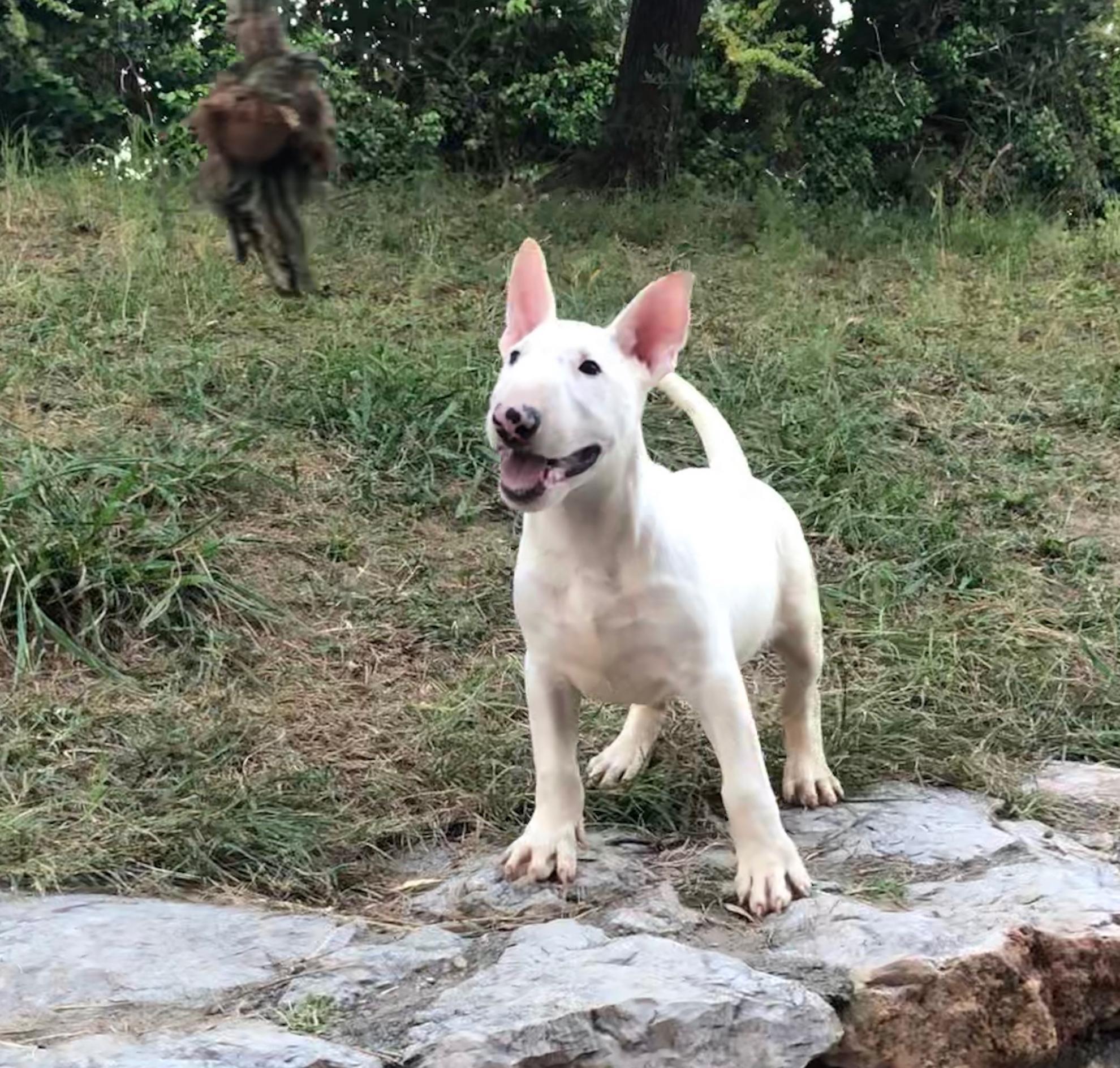 Chiot Bull terrier : 1  mâle - femelle 0 248141