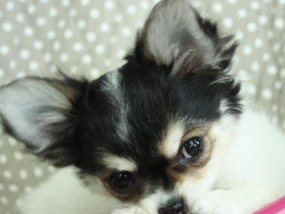 Chiot Chihuahua : 0  mâle – femelle 1 242335