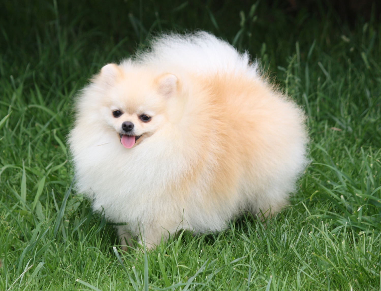 Chiot Chihuahua : 0  mâle - femelle 1 242335